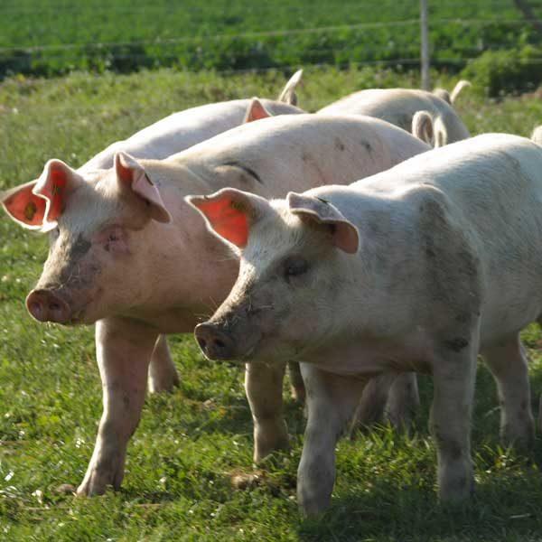 Freiland - Schwein