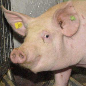 Schwein aus Stallhaltung
