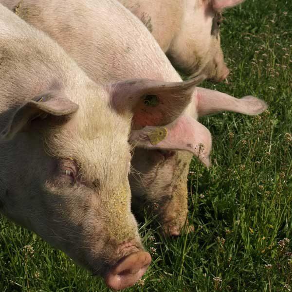 Weideschwein, Freiland-Schwein